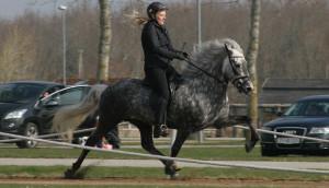 vigdis, islandske heste